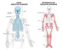 Human Anatomy Skeleton Diagram 1 1 U2013 The Skeletal System Ib Sehs Notes