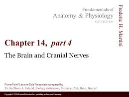 Exercise 17 Gross Anatomy Of The Brain And Cranial Nerves The Brain And Cranial Nerves Ppt Video Online Download
