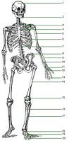 Human Anatomy Skeleton Diagram Simple Human Skeleton Diagram Numbered Human Anatomy Chart