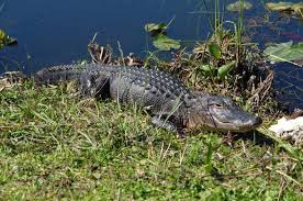 bartender resume template australia zoo crocodile feeding videos everglades airboat ride and wildlife nature show from miami in miami 387692 jpg