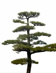 ornamental pine tree 5364 stockarch free stock photos