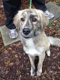 adopt ryker on australian shepherd mix australian shepherd and dog