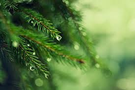 the powerful properties of pine trees and other extraordinary