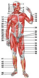 Anatomy Of Shoulder Muscles And Tendons Structure And Function Of Muscles Human Anatomy