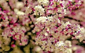 spring flowers background wallpaper spring tree flowers