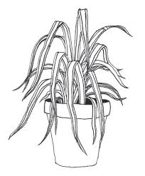 Spider Plant Spider Plant A Rough Sketch For A Tattoo I Just Got Pict U2026 Flickr