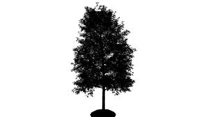 shingle oak silhouette of animated thin tree is swaying at the