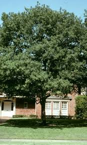 best shade trees for neil sperry s gardens