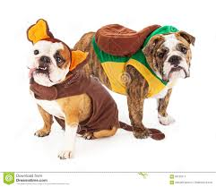Halloween Costumes English Bulldogs Funny Bulldogs Halloween Costumes Stock Photo Image 60125517