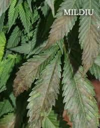 Plagas Y Hongos En Plantas De Cannabis