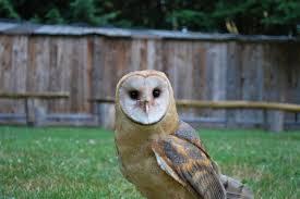 Scientific Name Of Barn Owl Barn Owl Raptors Ridge Birds Of Prey Inc