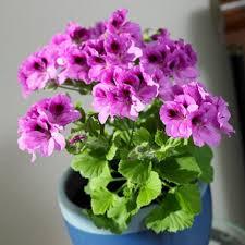 purple flowering indoor plant choosing the flowering indoor