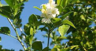 Fragrant Plants Florida - florida state flower the orange blossom proflowers blog