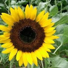 the 25 best black sunflower seeds ideas on pinterest quail feed