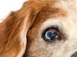 Blind Dog Eye Discharge Dog Distemper Symptoms Lovetoknow