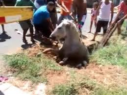 Moradores resgatam égua que atolou após cair em bueiro em ...
