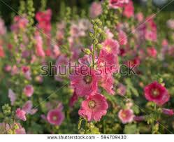 Hollyhock Flowers Hollyhock Flowers In Full Bloom Stock Images Royalty Free Images