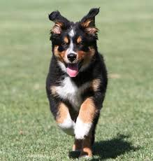 australian shepherd or golden retriever wendy the australian shepherd mix puppies daily puppy