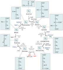 overview of the krebs or citric acid cycle biology i u0026 ii