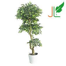indoor ficus trees indoor ficus trees suppliers and manufacturers