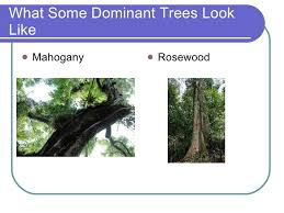 Dominant Plants Of The Tropical Rainforest - the tropical rainforest 2