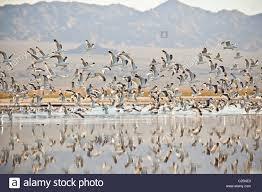 thousands of birds along the coast of the salton sea imperial