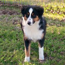 australian shepherd club qld miniature australian shepherd breed guide learn about the