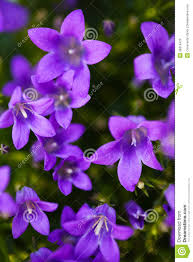 purple flowers purple flowers stock image image of delicate growing 36918479