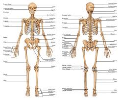 Apologia Human Anatomy And Physiology Anatomy Of The Bones In Your Body Skeleton Bones Human Skeleton