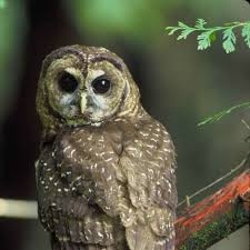 free picture northern spotted owl bird