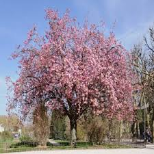 deciduous trees ornamental trees to brighten up your garden