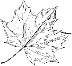 how to draw a maple leaf in adobe illustrator easy step by step