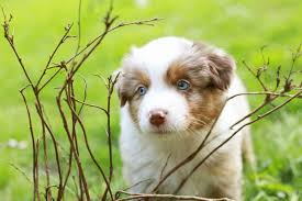 australian shepherd odor pet stain and odor removal upholstery and carpet cleaning