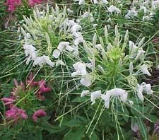 Cleome Flower - 81 best cleome images on pinterest plants flowers and spider