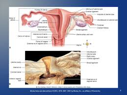 Human Anatomy Cervix Mosby Items And Derived Items 2013 2010 2007 2003 By Mosby