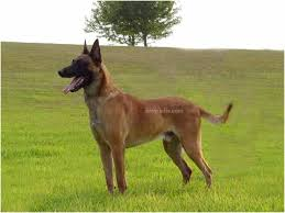 belgian shepherd how much wrecked 2010 faq