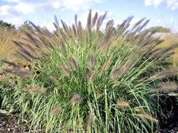 Tall Grass Landscaping by Types Of Ornamental Grasses Hgtv