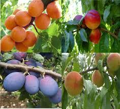fruit tree chill hours evergreen nursery
