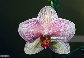 moth orchid stock photos and pictures getty images