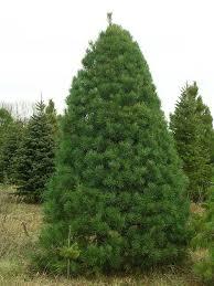 scotch pine christmas tree scotch pine pinus sylvestris 3 potted plants in 2 5