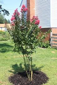 top 10 trees for small spaces 10 tree small spaces and trees