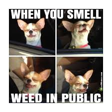 Funny Chihuahua Memes - when you smell weed in public meme funny stoner chihuahua weed memes