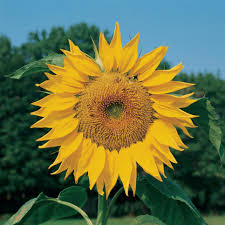 best yellow annual flowers for your garden hgtv