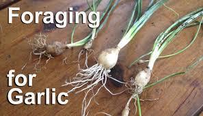 plants native to ontario foraging for wild garlic edible plants gardenfork tv youtube
