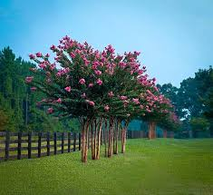 pink velour crape myrtle for sale the tree center