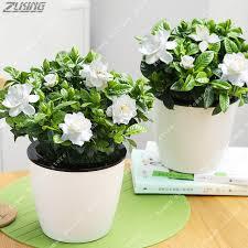 gardenia flower zlking 2pcs real gardenia bulb cape flower bonsai open