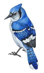 blue jay bird clipart clipartxtras