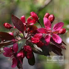 Profusion Flowering Crabapple - malus direktor moerland improved profusion crab apple tree