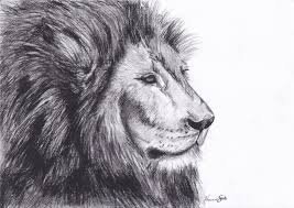 sketch lion picture pencil drawing collection