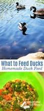 backyard ducks for absolute beginners backyard ducks backyard
